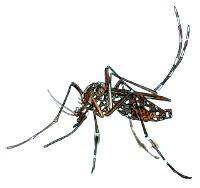 """""""Mosquito"""